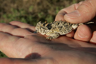 Horned lizard - Texas horned lizard