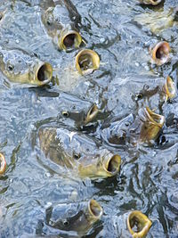 Feeding frenzy catfish.JPG