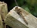 Female Common Darter. Sympetrum striolatum (23940138618).jpg