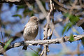 Female House Finch 374662496.jpg