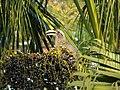 Female Indian Grey Hornbill Eating Palm Fruits 05.jpg