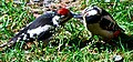 Female great spotted woodpecker feeding young male (2612421699).jpg
