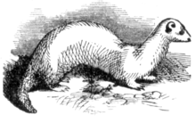 Hurones 220px-Ferret