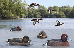 Ferruginous Duck from the Crossley ID Guide Britain and Ireland