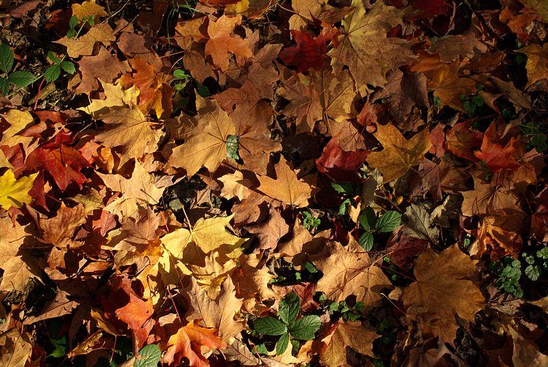 File:Feuillage automne.JPG