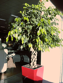 Planta de interior wikipedia la enciclopedia libre for Ficus benjamin perde foglie