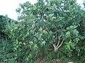 Ficus carica o higuera.jpg
