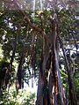 Ficus columnaris Tenerife 01.jpg
