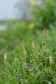 Field Horsetail (8623763420).jpg