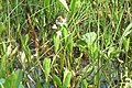 First bogbean sighted (Rzy) (14511675634).jpg
