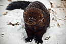 Fisher-face-snow - West Virginia - ForestWander.jpg