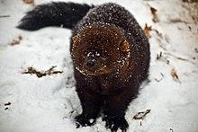 Fisher Animal Wikipedia