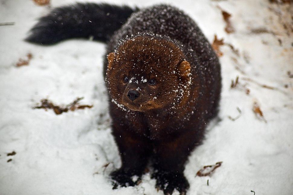 Fisher-face-snow - West Virginia - ForestWander