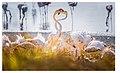 Flamingoes In Love.jpg