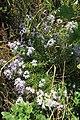 Flaxleaf Whitetop Aster (8578478858).jpg