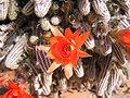 Fleurs de cactus.JPG