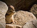 Flickr - Laenulfean - ground squirrel at Morro Rock.jpg