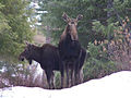 Flickr - Oregon Department of Fish & Wildlife - 2009 moose.jpg