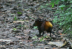 Flickr - Rainbirder - Weird and bizarre (The Golden-rumped Sengi).jpg