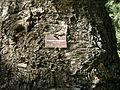 Flickr - brewbooks - Araucaria cuninghamii Hoop Pine.jpg