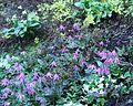 Flickr - brewbooks - Erythronium denis-canis at Streissguth Gardens - Seattle.jpg