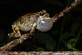 Flickr - ggallice - Gray treefrog.jpg