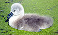 Flickr - law keven - Not such an ugly duckling..-O))).jpg