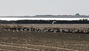 Lake Tuzla - Flock of birds in Tuzla