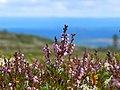 Flora in Fulufjället National Park.jpg