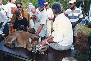 Martin County, Florida - Florida panther at Possum Long, September, 1992