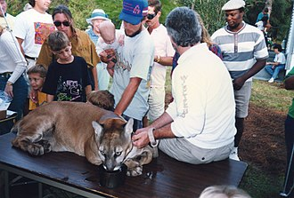 Martin County, Florida - Florida panther at Possum Long, September, 1992