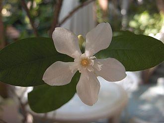 Apocynaceae - Wrightia antidysenterica