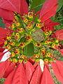 FlowerEuphorbiapulcherrimadetail01.JPG