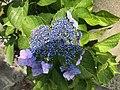 Flowers of Hydrangea macrophylla 20200615-1.jpg