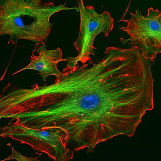 Microtubule - Components of the eukaryotic cytoskeleton. Actin filaments are shown in red, microtubules are in green, and the nuclei are in blue. The cystoskeleton provides the cell with an inner framework and enables it to move and change shape.