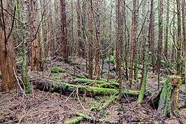 Forest by Little Kuitsche Campsite, Juan de Fuca Trail, Vancouver Island, Canada 33.jpg