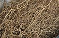 Fragrant root vetti-ver.jpg