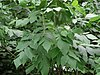 Fraxinus americana - White Ash leaves, New York 1.jpg
