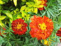French Marigold from Lalbagh Flowershow - August 2012 095926.jpg