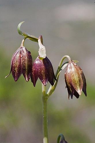 Fritillaria biflora - Image: Fritillaria biflora 2