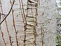 Frost Crack, Acer pseudoplatanus bark, Stewarton, Ayrshire, Scotland.jpg