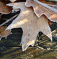 Frosted leaves2.jpg