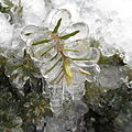 Frozen Plant - Milwaukee, Wisconsin - 4 March 2012.jpg