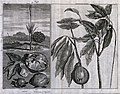 Fruits from the East Indies, including piek (?Nipa fruticans Wellcome V0043066.jpg