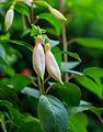 Fuchsia 'Aloys Hetterscheid' 02.jpg