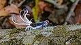 Fulgorid planthopper (33408985531).jpg