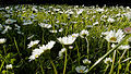 Gaensebluemchen-2.jpg