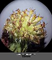 Gaillardia ×grandiflora sl12.jpg