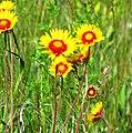 Gaillardia aristata - Blanket Flower (7462470722).jpg