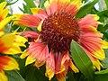Gaillardia sp. 0.5 R.jpg